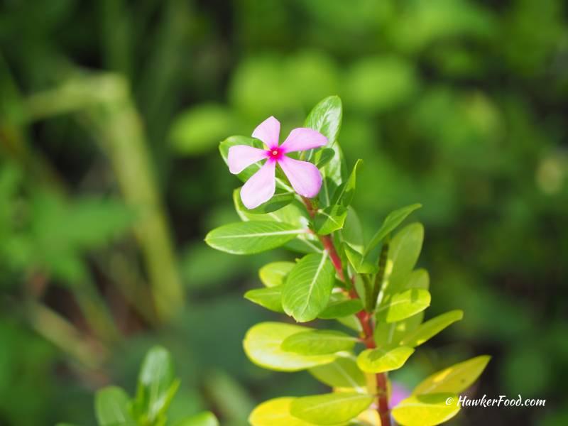coney island park flora